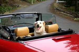 car phobia in dogs