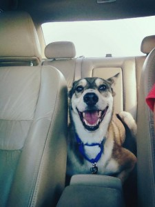 Loker never lies down on his own in the car. Right after the chiropractor, he did just that!